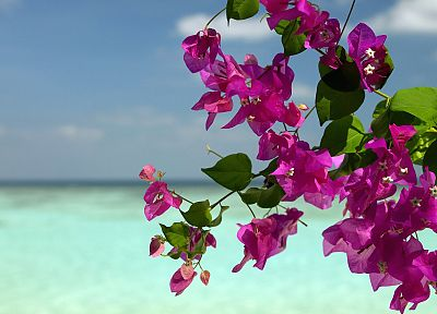 flowers, bougainvillea, sea - random desktop wallpaper
