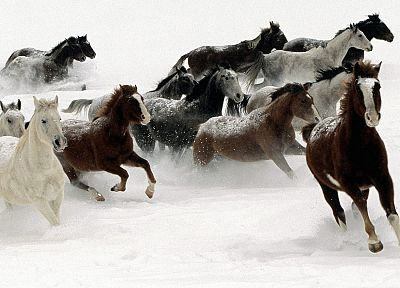 snow, animals, horses - related desktop wallpaper