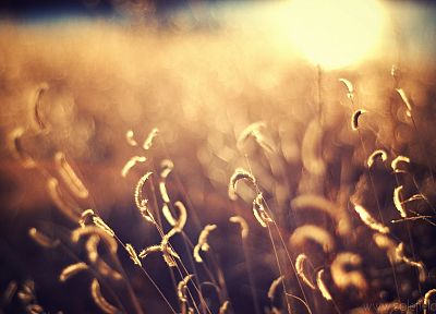 bokeh, sunlight, depth of field, spikelets - random desktop wallpaper