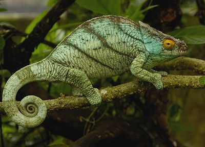 nature, chameleons, lizards - related desktop wallpaper