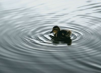 water, duckling, baby birds - desktop wallpaper
