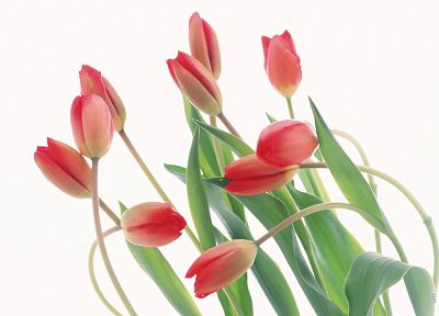 flowers, tulips, white background - related desktop wallpaper
