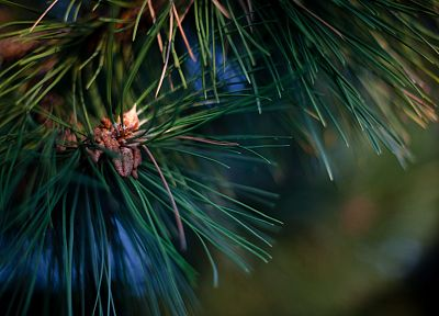 trees, depth of field, pine trees - random desktop wallpaper