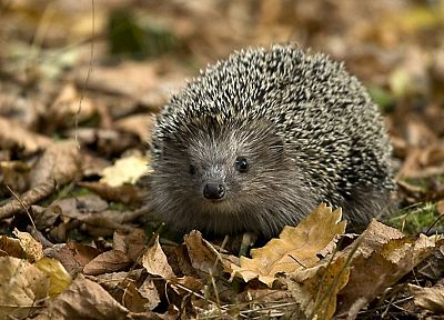 animals, hedgehogs, Pygmy hedgehogs - related desktop wallpaper