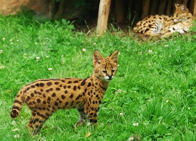 animals, grass, outdoors, serval, spotted - random desktop wallpaper