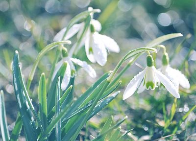 flowers, macro, depth of field, snowdrops, white flowers - related desktop wallpaper