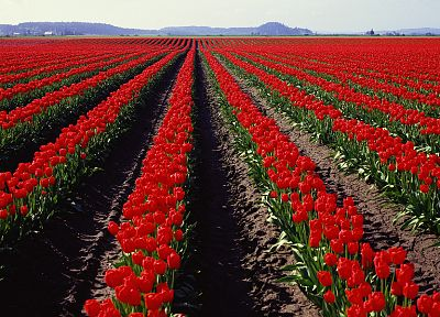 flowers, fields, tulips, panorama, multiscreen - related desktop wallpaper