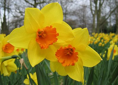 flowers, plants, daffodils, yellow flowers - desktop wallpaper