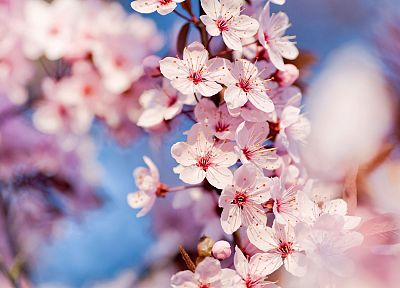 close-up, nature, cherry blossoms, trees, flowers, pink flowers - desktop wallpaper