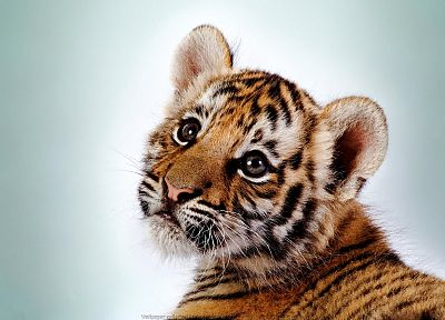 animals, tigers, cubs, feline - related desktop wallpaper