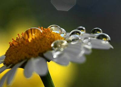 flowers, water drops, macro - desktop wallpaper