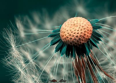 flowers, macro, dandelions, HDR photography, depth of field - desktop wallpaper
