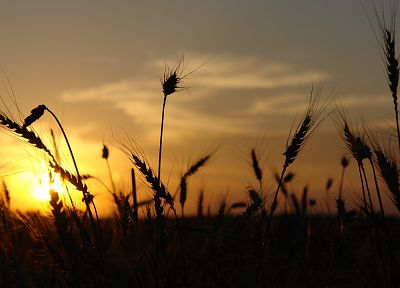 sunset, landscapes, macro, depth of field, spikelets - related desktop wallpaper