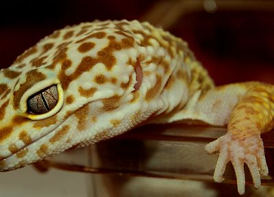 animals, lizards, reptiles - related desktop wallpaper