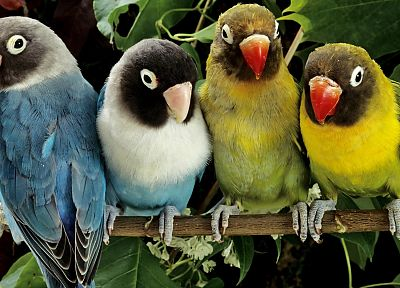 nature, birds, animals, parrots, love bird - random desktop wallpaper