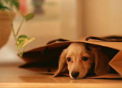 animals, dogs, dachshund - related desktop wallpaper