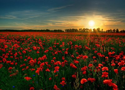 sunset, flowers, fields, poppy, red flowers - related desktop wallpaper