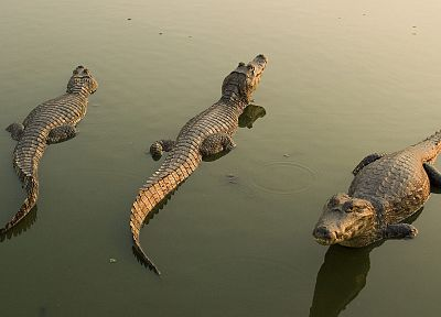 animals, crocodiles, reptiles - random desktop wallpaper