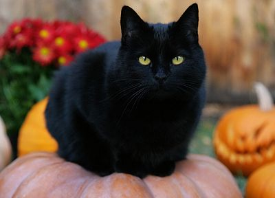 Black Cat, Halloween, pumpkins, jack-o-lanterns - random desktop wallpaper