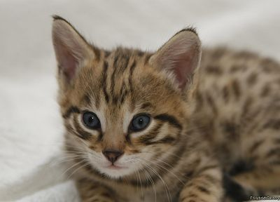 blue eyes, animals, kittens, serval, spotted, wildcat - random desktop wallpaper