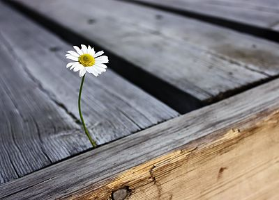 flowers, depth of field, white flowers, wooden floor, daisies - related desktop wallpaper