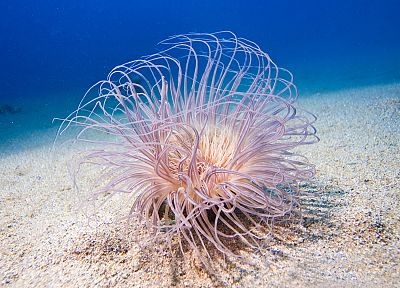 ocean, sea anemones, underwater, sealife, sea - related desktop wallpaper