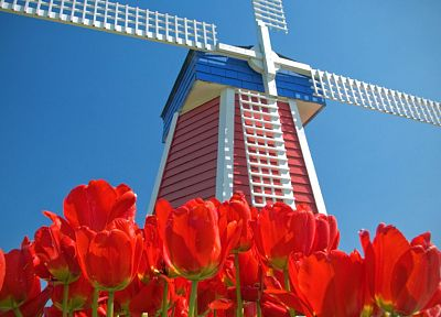 tulips, Amsterdam, windmills, red flowers, blue skies - desktop wallpaper