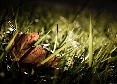 nature, leaf, autumn, grass, seasons, maple leaf - desktop wallpaper