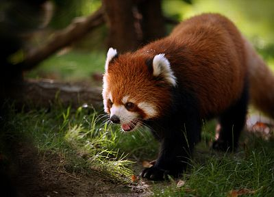animals, outdoors, red pandas - related desktop wallpaper