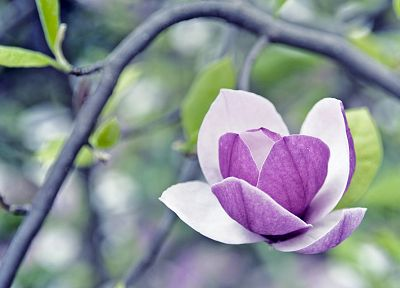 flowers, macro, Magnolia, purple flowers - desktop wallpaper
