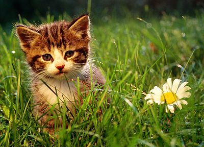 nature, flowers, cats, animals, grass, kittens - desktop wallpaper