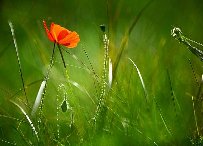 nature, flowers, macro, poppy - desktop wallpaper