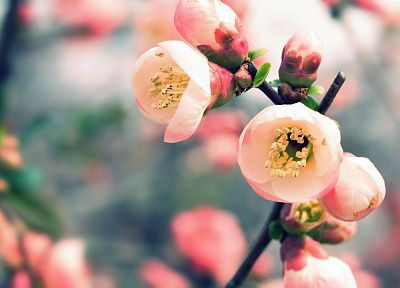 nature, cherry blossoms, flowers, spring, blossoms, macro, depth of field, blurred - desktop wallpaper