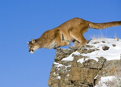 animals, jumping, puma, feline, cougars - random desktop wallpaper