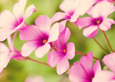 nature, flowers, pink flowers, Verbena - desktop wallpaper