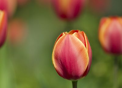 flowers, tulips - random desktop wallpaper