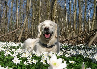 nature, white, flowers, animals, dogs, Labrador Retriever - desktop wallpaper