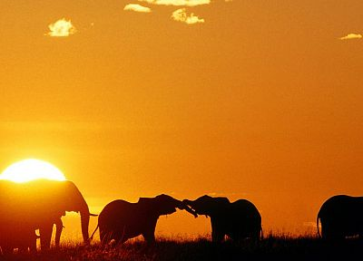 sunset, animals, silhouettes, mara, elephants, Africa, Kenya - random desktop wallpaper