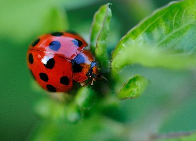 insects, ladybirds - random desktop wallpaper