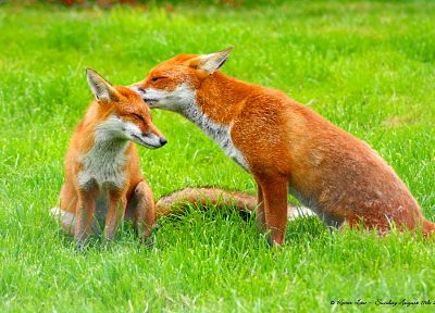 animals, grass, foxes - related desktop wallpaper