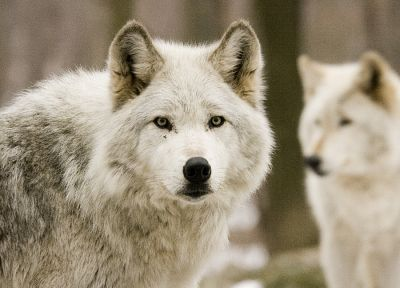 white, animals, wolves - random desktop wallpaper