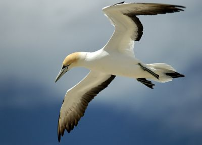 birds, gannets - random desktop wallpaper