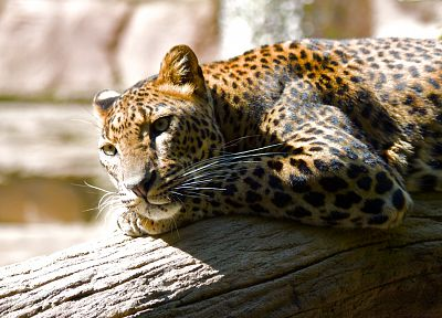 animals, leopards, branches - random desktop wallpaper