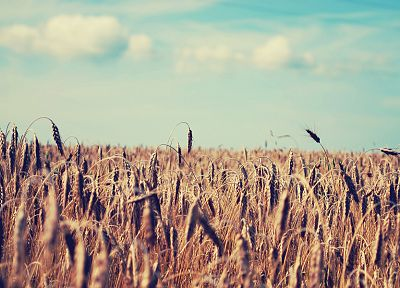landscapes, fields, wheat - random desktop wallpaper