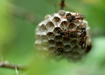 nature, animals, insects, wasp - desktop wallpaper