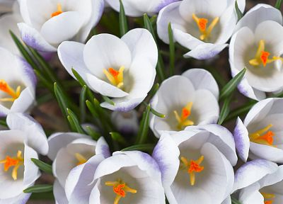 flowers, crocus, white flowers - desktop wallpaper