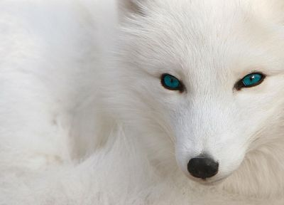 blue eyes, arctic fox, foxes - random desktop wallpaper