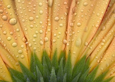 nature, flowers, water drops, macro - random desktop wallpaper
