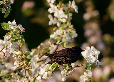 birds, ttic24, starling, white flowers - random desktop wallpaper