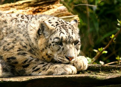 cats, animals, outdoors, leopards - related desktop wallpaper